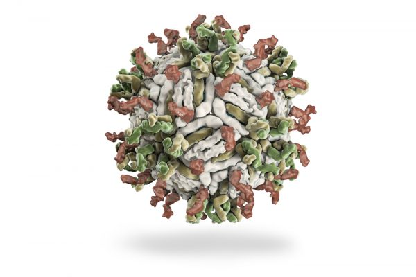 Green, brown and white dengue capsid