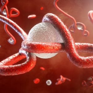 Ebola virus particle wrapped around leukocyte
