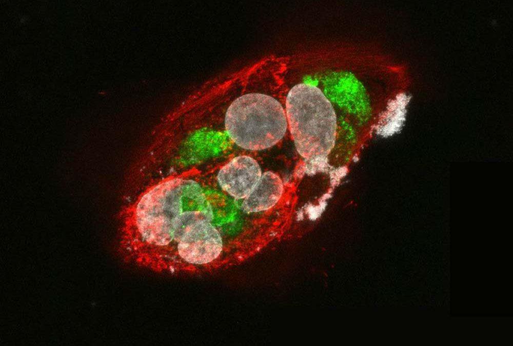 New Immunofluorescence Data for our Flavivirus Antibodies